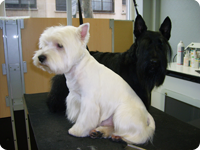 Andy : Westie et Cachou : Scottish